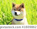 Shiba Inu 41609862