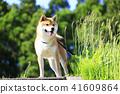 Shiba Inu 41609864
