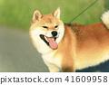 Shiba Inu 41609958