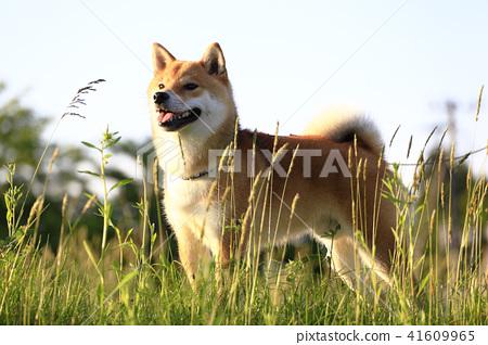 柴犬 丛林犬 日本犬 41609965
