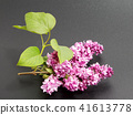 Bunch of lilac flowers isolated   41613778