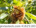 板栗栗子樹(九月) 41625183