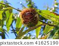 板栗栗子樹(九月) 41625190