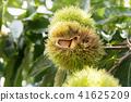 板栗栗子樹(九月) 41625209