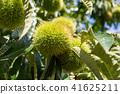 板栗栗子樹(九月) 41625211