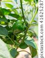 Green pepper (home garden) July 41625287