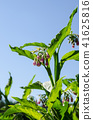 comfrey, symphytum officinale, bloom 41625816