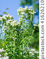 mountain mint, herb, herbal 41626210