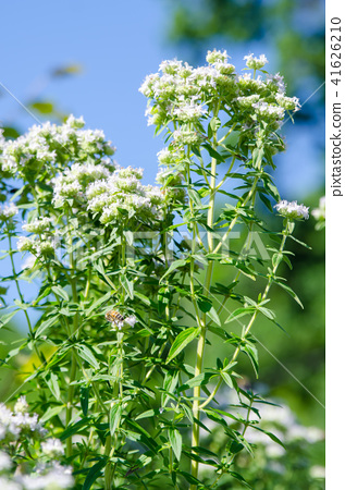 Mountain Mint 41626210