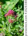 benikanokosou, sentoransasu, bloom 41626380