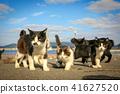 貓島流浪貓的生活 41627520