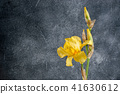 Yellow irise on concrete background 41630612