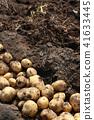 감자, 밭, 수확 41633445