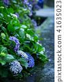 繡球花 初夏 因花著稱的地方 41635023