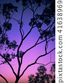 Tree silhouette at dusk in Ipswich, Queensland 41638969