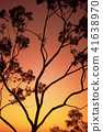Tree silhouette at dusk in Ipswich, Queensland 41638970