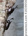 bug, rhinoceros beetle, beetle 41639056