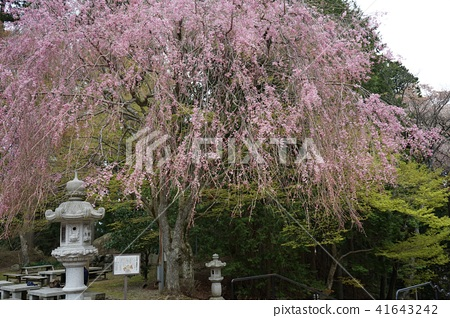 櫻花 枝垂櫻 比叡山 41643242