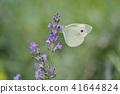 라벤더, 꽃, 플라워 41644824