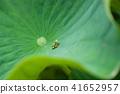 古莲花 莲花 树叶 41652957