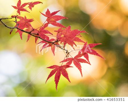 楓樹 紅楓 楓葉 41653351