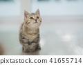 animal, cat, kitten 41655714