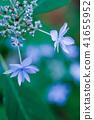 산 수국 일곱 단 꽃 41655952