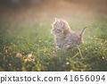animal, cat, kitten 41656094