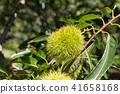 板栗栗子樹(九月) 41658168