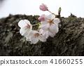 ดอกซากุระบาน,ซากุระบาน,ดอกไม้ 41660255