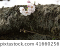 ดอกซากุระบาน,ซากุระบาน,ดอกไม้ 41660256