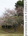 ดอกซากุระบาน,ซากุระบาน,ดอกไม้ 41660257