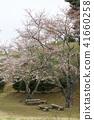 ดอกซากุระบาน,ซากุระบาน,ดอกไม้ 41660258