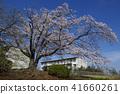 ดอกซากุระบาน,ซากุระบาน,ท้องฟ้าเป็นสีฟ้า 41660261