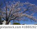 ดอกซากุระบาน,ซากุระบาน,ดอกไม้ 41660262
