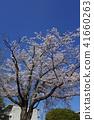 ดอกซากุระบาน,ซากุระบาน,ท้องฟ้าเป็นสีฟ้า 41660263