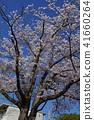 ดอกซากุระบาน,ซากุระบาน,ท้องฟ้าเป็นสีฟ้า 41660264