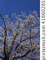 ดอกซากุระบาน,ซากุระบาน,ดอกไม้ 41660265