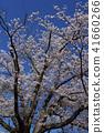 ดอกซากุระบาน,ซากุระบาน,ท้องฟ้าเป็นสีฟ้า 41660266