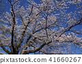ดอกซากุระบาน,ซากุระบาน,ท้องฟ้าเป็นสีฟ้า 41660267