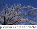 ดอกซากุระบาน,ซากุระบาน,ท้องฟ้าเป็นสีฟ้า 41660268