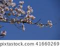 ดอกซากุระบาน,ซากุระบาน,ดอกไม้ 41660269