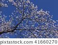 ดอกซากุระบาน,ซากุระบาน,ท้องฟ้าเป็นสีฟ้า 41660270