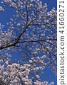 ดอกซากุระบาน,ซากุระบาน,ดอกไม้ 41660271