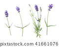 Lavender flowers isolated white background 41661076