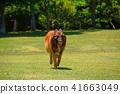 สุนัขขนาดใหญ่ที่วิ่งหญ้าสีเขียวสดเขียว Beliesian Shepherd Shepherd 41663049