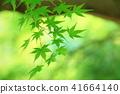 푸른 단풍 나무 41664140