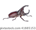Dynastinae on a white background 41665153