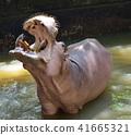 Hippopotamus; Hippo 41665321