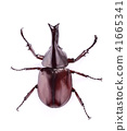 Dynastinae on a white background 41665341